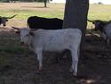 Steer For Sale